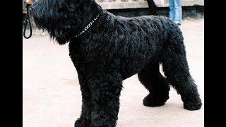 Русский Черный   Терьер/Black Russian Terrier (порода собак HD slide show)!