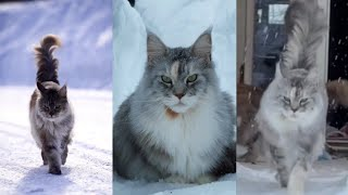 Funny and cute MAINE COON!!! TikTok!!!
