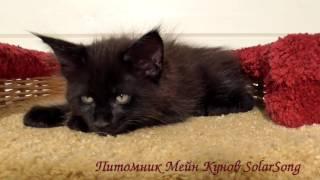 Prince SolarSong, кот, чёрный солид,1 месяц и 3 недели