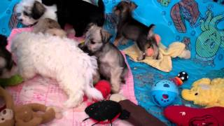 Mini Schnauzer Puppies For Sale In Central Pennsylvania