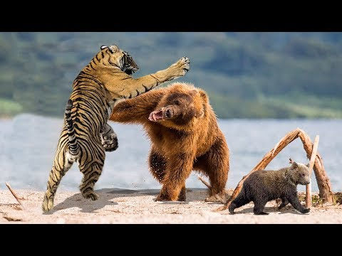 MOTHER BEAR REAL FIGHT WITH TIGER TO PROTECT HER BABY | Bear Vs Tiger