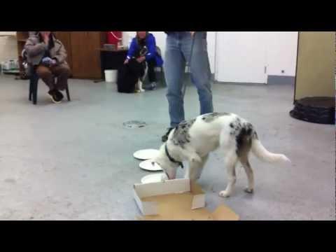 Nosey Dogs Blind Deaf Australian Shepherd