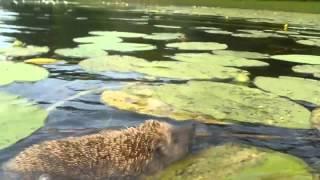 Как ежики купаются Подводная съемка, приколы видео животные смотреть бесплатно
