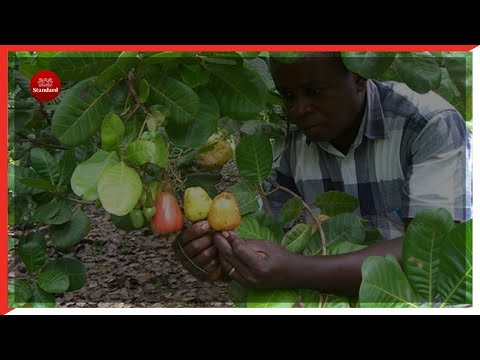 Cashew nut farmers in Kilifi ask gov't to revive of cashew nut factory that collapsed in early 90s