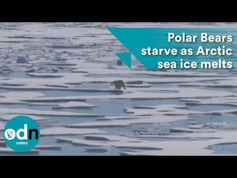 Polar Bears starve as Arctic sea ice melts