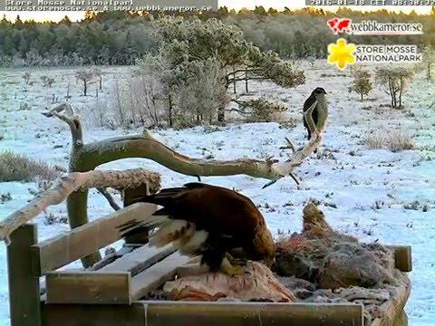 Store Mosse National Park 1.18.16 800am-900am Golden Eagles and Goshawk