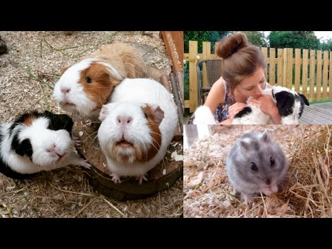 Live Streaming The Guinea Pigs