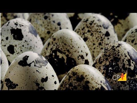 Clique e veja o vídeo Curso a Distância Codornas - Recria e Reprodução