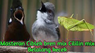 Download Masteran ampuh, Ciblek ngebren mix Cililin mix Belalang Kecek Mp3