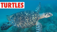 Terrific Turtles Compilation | Shell Bois!