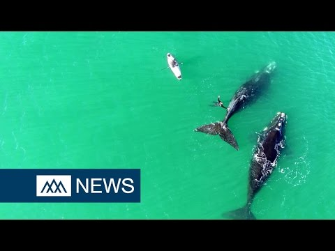Drone footage shows breath-taking whale encounter in Dunedin, New Zealand - DIBC News