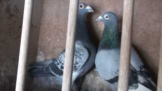 Racing Pigeon Germany Champion 1, 2, 3, 4, 5, 6, we import only champions from Netherlands,Belgium