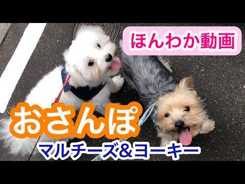 マルチーズとヨーキーお散歩に大興奮!【Maltese & Yorkshire terrier】