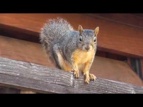 Super cute & excited American Fox Squirrel Fairfield, California