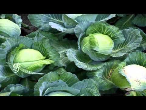 Turmeric Cultivation || Cabbage Cultivation - Eruvaka - 16-09-2014 - 99tv