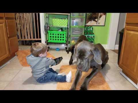 Baby feeds his giant dogs, and trys a bite!