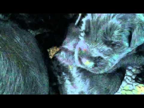 2 week old Giant Schnauzer puppies