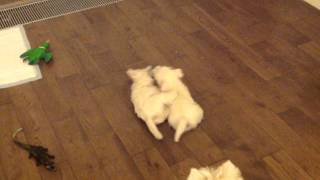 щенки вест хайленд уайт терьера: Rock Crystal и Rockfeller (west highland white terrier)