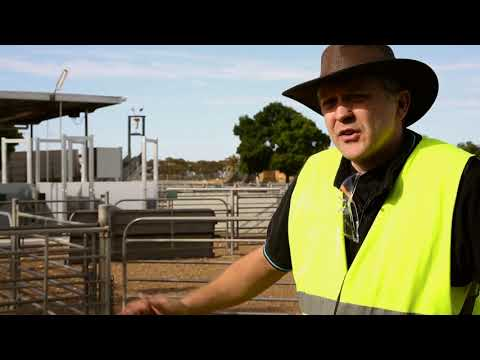 Electronic Identification Equipment Rolls Out In Saleyards
