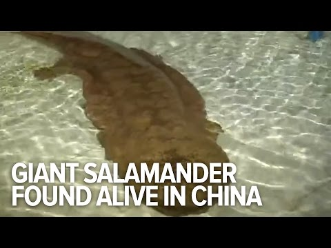 200-year-old Giant salamander found alive in China