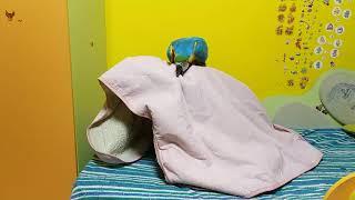 Попугай ара пытается освободить хозяйку от одеяла