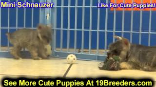 Mini Schnauzer, Puppies, For, Sale, In, Meridian, Idaho, County, Id, Ada, Canyon, Bonneville, Bannoc