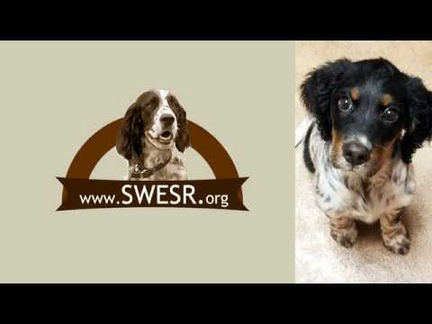 Southwest English Setter Rescue: Shelly's Story