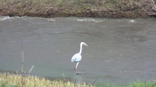 Прямо в кадре Цапля поймала рыбу в реке. Птица большая. Видео приколы с животными для детей. BONAMOR