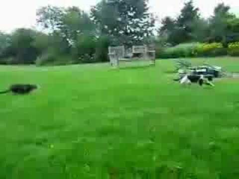 Cat jump surprise attack.