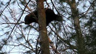 Fisher Cat in a tree in our backyard during daytime