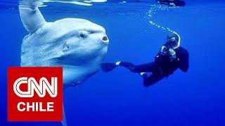 Gigantesco pez luna sorprendió a buzos en Bahía Inglesa