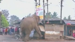 A wild elephant wreaks havoc stomping his way through a village in India