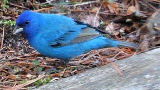 Male Indigo Bunting in full blue mature breeding colors. A beautifu...