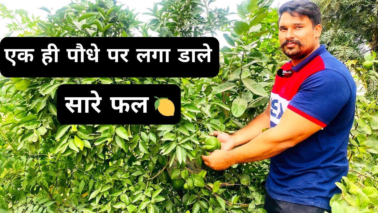 एक ही पौधे पर लगाएं कई पौधे | Lemon Kinnu chakotara at one Plant Multiple Grafting at single Plant