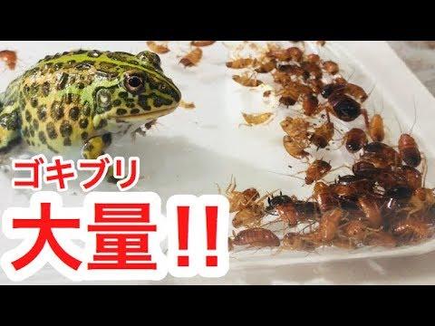 アフリカウシガエルに大量のゴキブリを見せたらどんな反応をするのか?