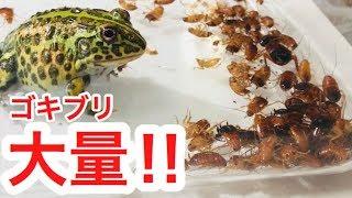 アフリカウシガエルに大量のゴキブリを見せたらどんな反応をするのか? thumbnail