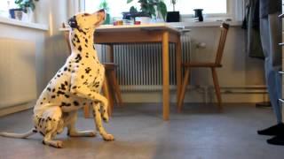 Clicker Training Dalmatian