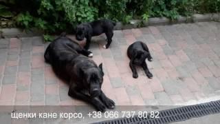Кане корсо. Щенки и мама. Cane Corso, sweet puppies and their mom