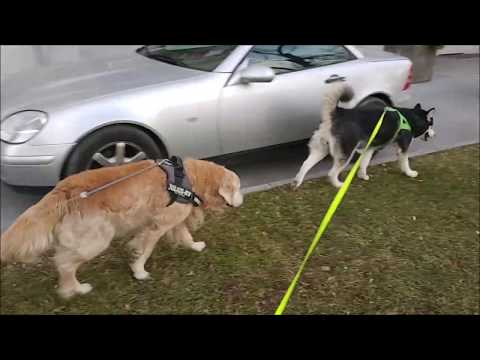 We switched harnesses between Alaskan Malamute and Golden Retriever