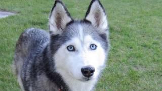 Dogs Eye View - Wordless Wednesday - Gopro Cam - Siberian Husky
