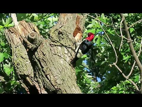 Woodpeckers building nest by lane