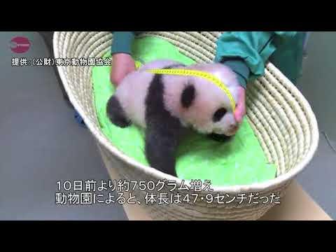 JAPAN - Giant Panda, Tokyo Japan, Coming Along Very Well.