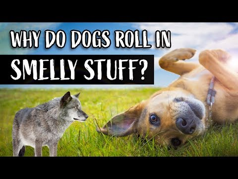 Why Do Dogs Roll In Smelly Stuff?   Dogs Rolling In Poop & Dead Animals