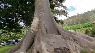 W Kula na Maui: Ach, te Drzewa😍🥰❤