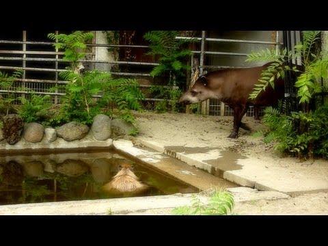 Capybara meets tapirs (カピバラがバクに遭遇)