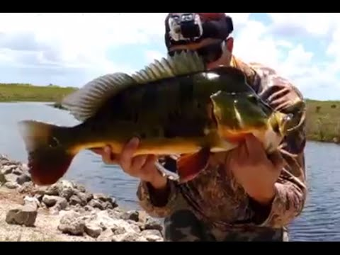 Peacock Bass Fishing and Catching A Poacher !