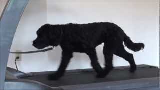 Astro (labradoodle) Obedience Level I. Dog Trainining Video
