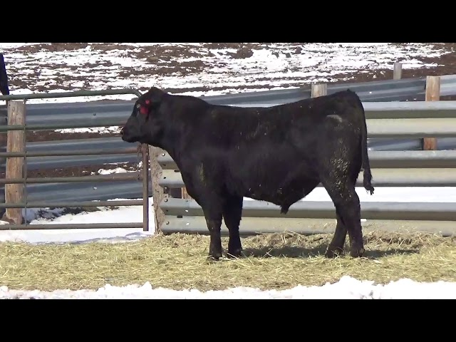 Connealy Angus Lot 454