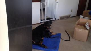 Door Bell Reactivity How -to | Majors Academy Dog Training And Rehabilitation