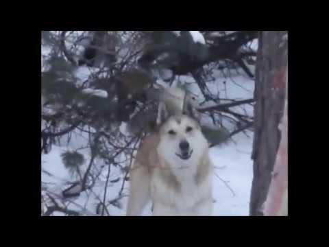 Охота в степи Видео